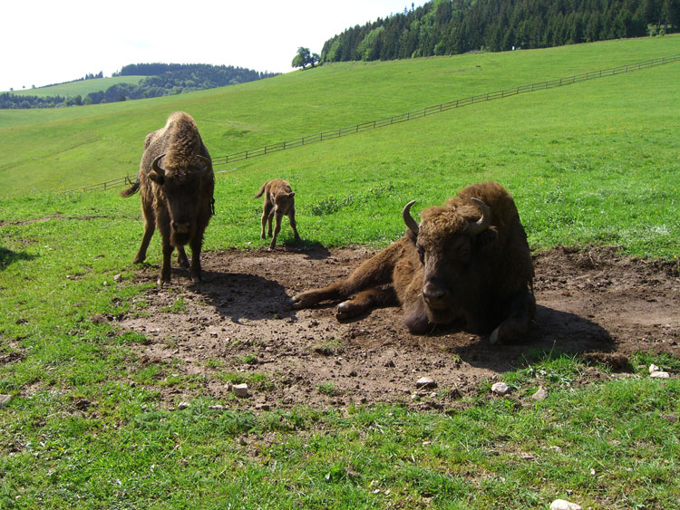 Wisent Familie